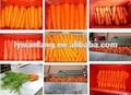 la meilleure qualité et le prix bon marché normal carotte fraîche