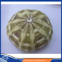 Natural green sea 8-10cm urchin in gifts&crafts 100pcs/bag accept paypal