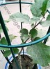 Powder Coated Dark Green Tomato Cages,Tomato Plant Support