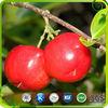 ISO,Kosher Certificate Acerola Cherry Extract / Vitamin C 17% 25% HPLC