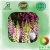 100% Natural Digitalis purpurea extract powder / 98% digoxin / CAS No.20830-75-5