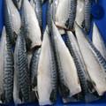 fruits de mer congelés filets de maquereau scomber scombrus de atlantic fabriqués en chine