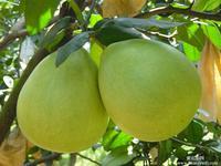 2015 New Sweet Pomelo Citrus maxima