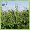 bambu cane for support sapling