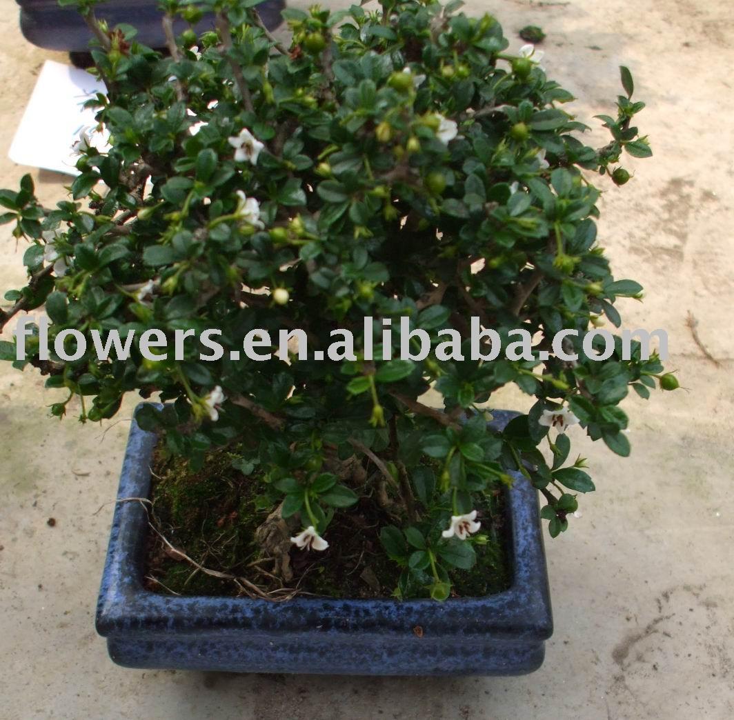 Bonsai Download bwin App mobilebwin – Carmona Microphylla Plantasonya O Seu Blog Picture