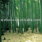 moso bamboo/Phyllostachys pubescens