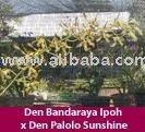 Den Bandaraya Ipoh x Den Palolo Sunshine dendrobium flower