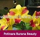 potinara burana beauty cattleya flower