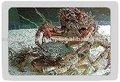Mediterráneo espinosa araña cangrejo