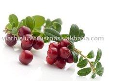 Fruit plants / nursery trees of lingonberries