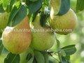 Fruteiras/ viveiro de árvores de peras