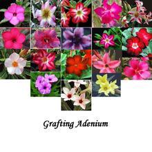 Adenium House Plants