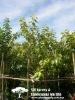 Ficus Benghalensis(Outdoor Plants)