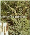 plant extract Matrine 98%HPLC