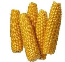 pegajosa híbrido semillas de maíz