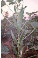 Hybrid Okra seed
