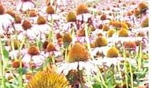Echinacea Extract 4% polyphenol