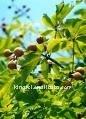 Escin--Aesculus Hippocastanum(Horse Chestnut) Seed Extract