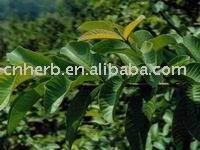 Hoja de guayaba hojas para el té