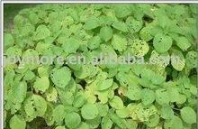Ramie Leaf Extract Boehmeria Nipononivea Fatty Acid 10%-30%