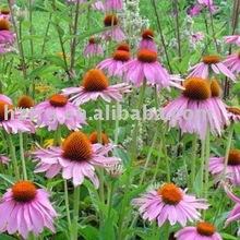 echinacea angustifolia P.E