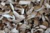 Dried boletus New Boletus barrowsii Best Quality