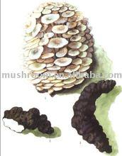 Polyporus umbellatus extract POLYSACCHARIDE