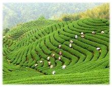 Green Tea Catechins