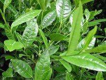 De-caffeinated Green Tea Catechins