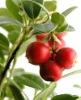 Cranberry Concentrate Juice Powder