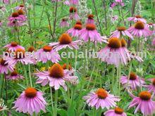 Echinacea Angustifoia Extract