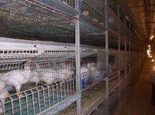 Otomatik tavuk kafesi- kanatlı besleme sistemi