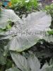 002 Alocasia macrorhiza