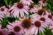 Echinacea Purpurea extract for Allergy