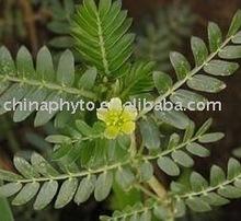 Tribulus Terrestris extracto en polvo ( medicine saponinas )
