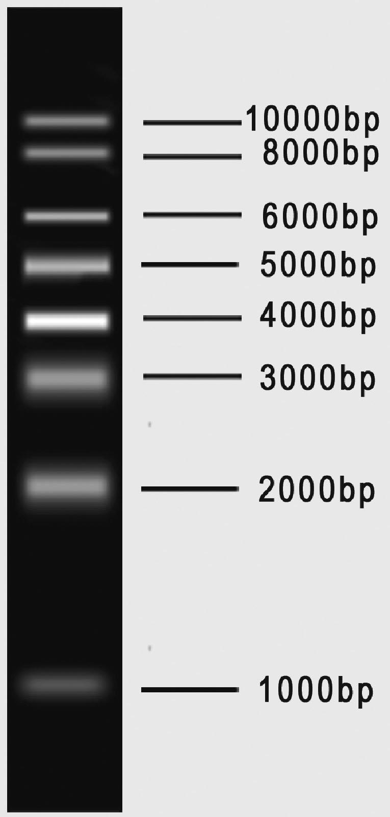 1kb dna marker   bioteke