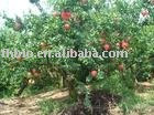Pharmaceutical Ingredient(Pomegranate)