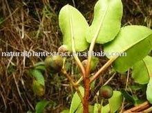 Pygeum Africanum Bark Extract