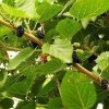 Mulberry Leaf Extract(plant extract)