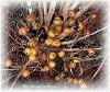 Saw palmetto Fruit Extract