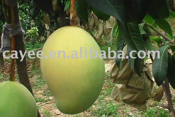 Essay mango tree tamil