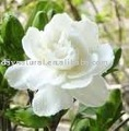Jasmine cap p. E.-- fructus gardeniae p. E.( hplc 15-95%)