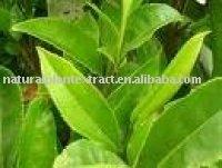 Green Tea Extract 80% Catechin