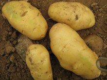 2011 new fresh potato
