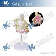 Human nasal model