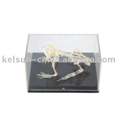 esqueleto de sapo