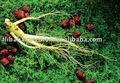 ginseng coréen de panax