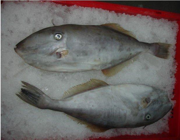 leather jacket fish. whole round Leather Jacket fish