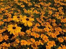 Marigold Extract xanthin 20%