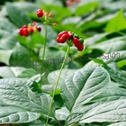 100% Natural Plant Extract Ginseng Extract